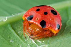 A ladybug mimic spider