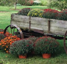 The Garden Barn: Decorate your home with hardy fall mums! Fall Mums, Old Wagons, Garden Cart, Autumn Garden, Fall Harvest, Harvest Time, Fall Flowers, The Ranch, Autumn Inspiration