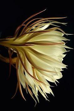 .Night- Blooming Cereus