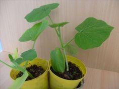 Jungpflanzen von Gemüse vorziehen auf dem Fensterbrett für Gewächshaus und Freiland