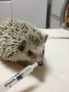 Some hedgehogs get addicted to dangerous things and then shoot them through…