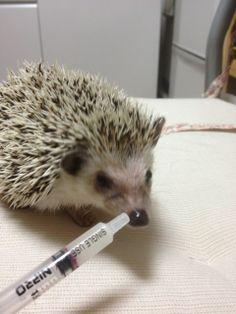 ♡Hedgehog♡