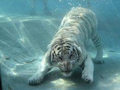 Tigre bianca sul fondo