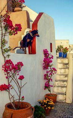 Dog at home in Oia, Santorini