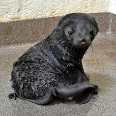 Newest member at the New England Aquarium, a baby seal pup born today.