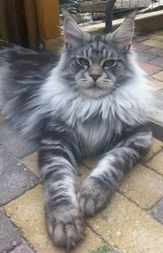 """Maine Coon cat. Maine Coons are one of the largest breeds of domestic cat. Males weigh from 15 to 25 lb (6.8 to 11 kg) with females weighing from 10 to 15 lb (4.5 to 6.8 kg). In 2010, the Guinness World Records accepted a male purebred Maine Coon named """"Stewie"""" as the """"Longest Cat"""" measuring 48.5 in (123 cm) from the tip of his nose to the tip of his  Google+"""