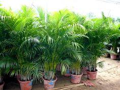 Chambre Palme les arbres verts Graines Rare exot jardin d/'hiver bergpalme