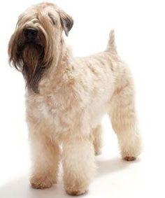 123 best wheaten terriers images in 2019 wheaten terrier dogs rh pinterest com