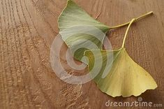 Photo about Autumn colors - leaves of Ginkgo biloba, ginkgo, maidenhair tree. Image of colors, ginkgo, treatment - 130117367