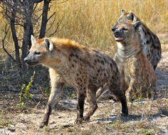 https://flic.kr/p/a9qxQs | Hyenas on the Hunt |