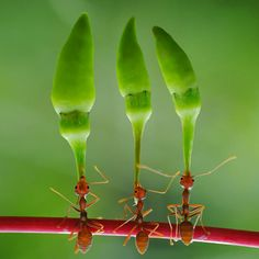 Hard-working ants lift huge chilli peppers over their heads as they march along on their hind legs towards their nest.