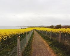 TAKE A WALK   We found a trail that cuts right through the rapeseed fields and alongside the coast in Greystones Ireland. It is just soooo beautiful.  . The sun is hiding but the yellow of the flowers against the grey and green backdrop makes it stand out even more. . No better way to get creatively inspired than to get out and about.  . No better way to take in new visuals and colours than to go for a walk. . No better way to calm the mind from the noise of everyday life and make room for… Rapeseed Field, Stunning View, Beautiful, Fields, Vineyard, Ireland, Backdrops, Trail, To Go