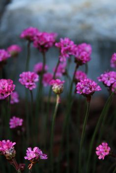 Armeria Maritima   by Pia´s Garden