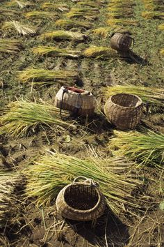 Harvesting rice, North Korea