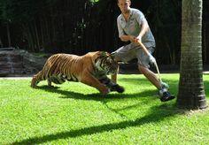 Tiger playing at Australia Zoo.