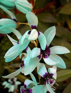 Turquoise Ixia-endangered plant of South Africa