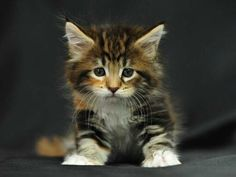 ✯ Cute Little Kitten - love Maine Coon cats Pretty Cats, Beautiful Cats, Animals Beautiful, Pretty Kitty, Animals And Pets, Baby Animals, Cute Animals, Cute Little Kittens, Kittens Cutest