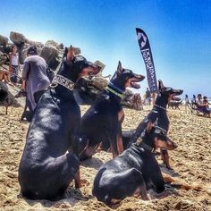 Black Doberman dogs