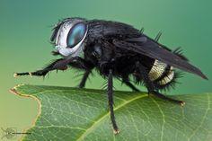Tachinid Fly - Belvosia borealis by ColinHuttonPhoto on deviantART