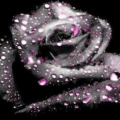 Black and Purple Rose Dark Flowers, Beautiful Rose Flowers, Love Rose, Amazing Flowers, Beautiful Flowers, Gothic Flowers, Beautiful Soul, Rose Violette, Rare Roses
