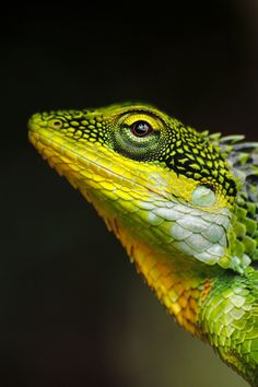 Yellow and Green lizard