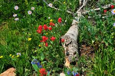 An abundance of wildflowers near Lake Isabelle in Colorado's Indian Peaks Wilderness.