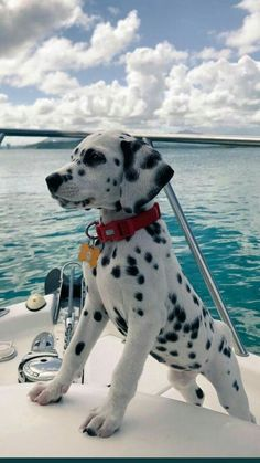A Dalmatian puppy's first time on a boat! - pets - A Dalmatian p. - A Dalmatian puppy's first time on a boat! – pets – A Dalmatian puppy's first time on a boat! Super Cute Puppies, Cute Baby Dogs, Cute Little Puppies, Cute Dogs And Puppies, Cute Little Animals, Cute Funny Animals, Doggies, Puppies Puppies, Big Dogs
