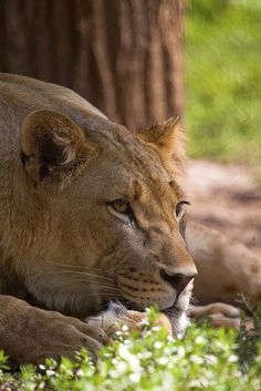 At Rest - lioness looking on