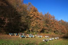 """An apiary in Isère (FRANCE) in autumn with a forest in the background.  See more at """"The Flight and Plight of the Honey Bee - An interview with Éric Tourneret, 'The Bee Photographer'."""" www.merchantandmakers.com/honey-bees-interview-eric-tourneret.    Image © Éric Tourneret / www.thehoneygatherers.com."""