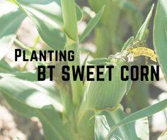Planting Bt Sweet Corn