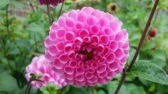 다알리아꽃 정말 이쁘네요.