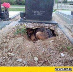 The Meaning Of Loyalty ~Maxwell ran to Grandma's grave and laid at her feet. He knew where she was.