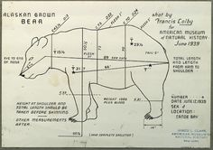 """Alaska brown bear, specimen measurement chart for use in Alaska Brown Bear Group, Hall of North American Mammals."" American Museum of Natural History. June 1939."
