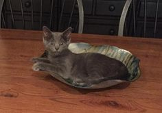Skylar is an adoptable Russian Blue searching for a forever family near Dover, DE. Use Petfinder to find adoptable pets in your area.