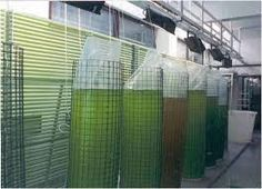 Image result for microalgae culture