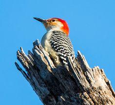 Red-belied Woodpecker (male): 28 February 2016, Dyke Marsh Park, Alexandria, VA, 7:30 a.m., 35 degrees, sunny, calm