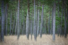 Mystery Pine Forest - Wall Mural & Photo Wallpaper - Photowall