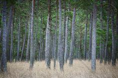 Mystery Pine Forest - Fototapeter & Tapeter - Photowall