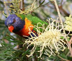 Posts about Australia written by Lyn Butterfly Flowers, Butterflies, Australian Birds, Colorful Birds, Bird Species, Native Plants, Bird Feathers, Beautiful Birds, Wildlife