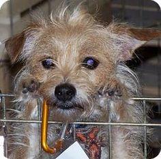 Scottish terrier knoxville tn