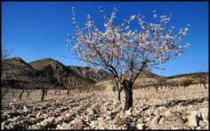 An early Almond in bloom, Rambla De Oria, Almeria.