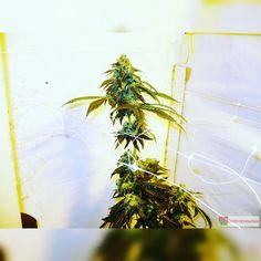 Headbanger by Karma Genetics  http://ift.tt/22UnVjN  OR TAP LINK IN BIO @howtogrowweed420  #weed #marijuana #cannabis #medicalmarijuana #mmj #ogkush #og #loud #dank #hydroponics #aeroponics #howtogrowweed #growingweed #420dotcom #howtogrow #howtogrowweedindoors #karmagenetics  #awardwinningcircle #karma_squad_strong by howtogrowweed420