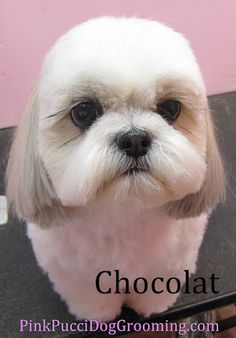 I just love Shi Tzu's!