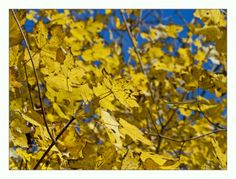 Autumn gold, leaves.