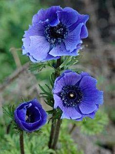 blauwe anemoon plant - Google zoeken