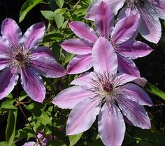 Buy Clematis 'Nelly Moser' & shop across a great range of climbers from Ireland's award winning gardening & lifestyle experience. Clematis Nelly Moser, Clematis Plants, Garden Centre