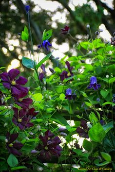 Mixed clematis