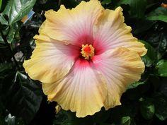 Sunny Hibiscus