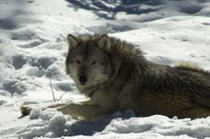 A Canadian Grey Wolf Canadian Animals, Canadian Wildlife, Marine Ecosystem, Wolves, Husky, Children, Grey, Cats, Ash