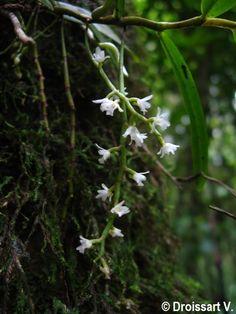 Rhipidoglossum polyanthum